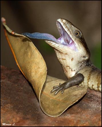 hungry blue tongue lizard